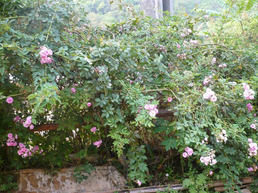 roses02